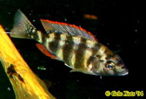 Image of Placidochromis johnstoni