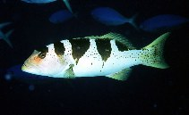 Image of Plectropomus laevis (Blacksaddled coralgrouper)