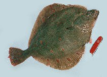 Image of Pleuronectes platessa (European plaice)