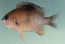 Image of Plectroglyphidodon randalli (Mauritian damsel)