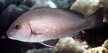 Image of Plectorhinchus schotaf (Minstrel sweetlips)