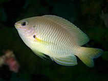 Image of Pomacentrus amboinensis (Ambon damsel)
