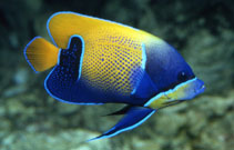 Image of Pomacanthus navarchus (Bluegirdled angelfish)