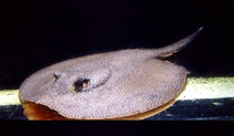 Image of Potamotrygon orbignyi (Smooth back river stingray)