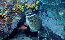 Image of Prionurus biafraensis (Biafra doctorfish)