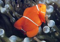 Image of Premnas biaculeatus (Spinecheek anemonefish)