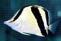 Image of Prognathodes guyanensis (French butterflyfish)