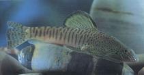 Image of Pseudogastromyzon fangi