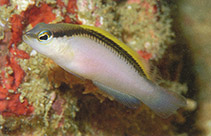 Image of Pseudochromis jace (Zippered dottyback)