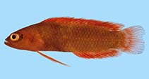 Image of Pseudoplesiops rosae (Rose Island basslet)