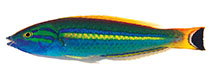 Image of Pseudojuloides splendens (Splendid pencil wrasse)