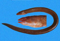 Image of Pythonichthys asodes (Pacific mud eel)