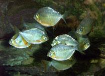 Image of Pygopristis denticulata (Lobetoothed piranha)
