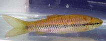 Image of Rasbora daniconius (Slender rasbora)