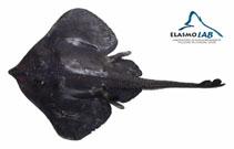 Image of Rajella nigerrima (Blackish skate)