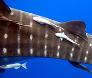 Image of Remora albescens (White suckerfish)