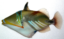 Image of Rhinecanthus aculeatus (White-banded triggerfish)