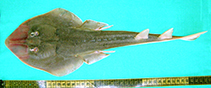 Image of Glaucostegus obtusus (Widenose guitarfish)