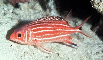 Image of Sargocentron cornutum (Threespot squirrelfish)