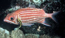 Image of Sargocentron diadema (Crown squirrelfish)