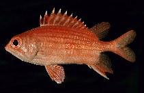 Image of Sargocentron dorsomaculatum (Spotfin squirrelfish)