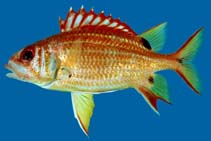 Image of Sargocentron melanospilos (Blackblotch squirrelfish)