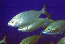 Image of Sarpa salpa (Salema)