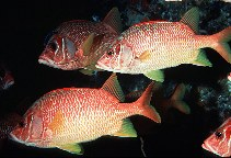 Image of Sargocentron spiniferum (Sabre squirrelfish)