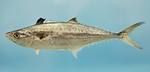 Image of Scomberomorus cavalla (King mackerel)