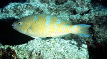 Image of Scarus ghobban (Blue-barred parrotfish)