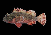 Image of Scorpaena histrio (Player scorpionfish)