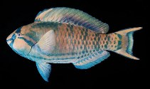 Image of Scarus longipinnis (Highfin parrotfish)
