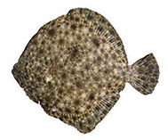 Image of Scophthalmus maeoticus (Black Sea turbot)
