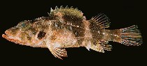 Image of Scorpaenodes minor (Minor scorpionfish)