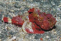 Image of Scorpaenopsis obtusa (Shortsnout scorpionfish)