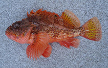 Image of Scorpaena papillosa (Red rock cod)