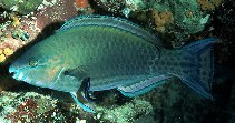 Image of Scarus psittacus (Common parrotfish)