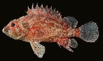 Image of Scorpaenodes scaber (Pygmy scorpionfish)