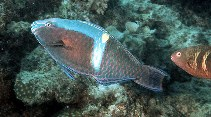 Image of Scarus schlegeli (Yellowband parrotfish)