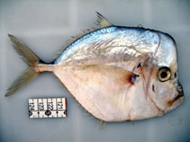 Image of Selene brownii (Caribbean moonfish)