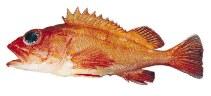 Image of Sebastes helvomaculatus (Rosethorn rockfish)