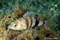 Image of Serranus hepatus (Brown comber)