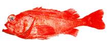 Image of Sebastes iracundus