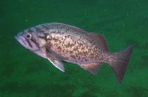 Image of Sebastes mystinus (Blue rockfish)