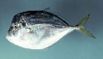 Image of Selene setapinnis (Atlantic moonfish)