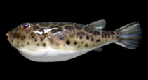 Image of Sphoeroides testudineus (Checkered puffer)