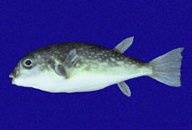 Image of Sphoeroides trichocephalus (Pygmy puffer)