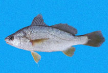 Image of Stellifer fuerthii (White stardrum)