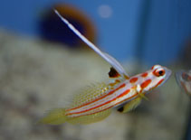 Image of Stonogobiops yasha (Orange-striped shrimpgoby)