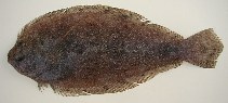 Image of Syacium micrurum (Channel flounder)